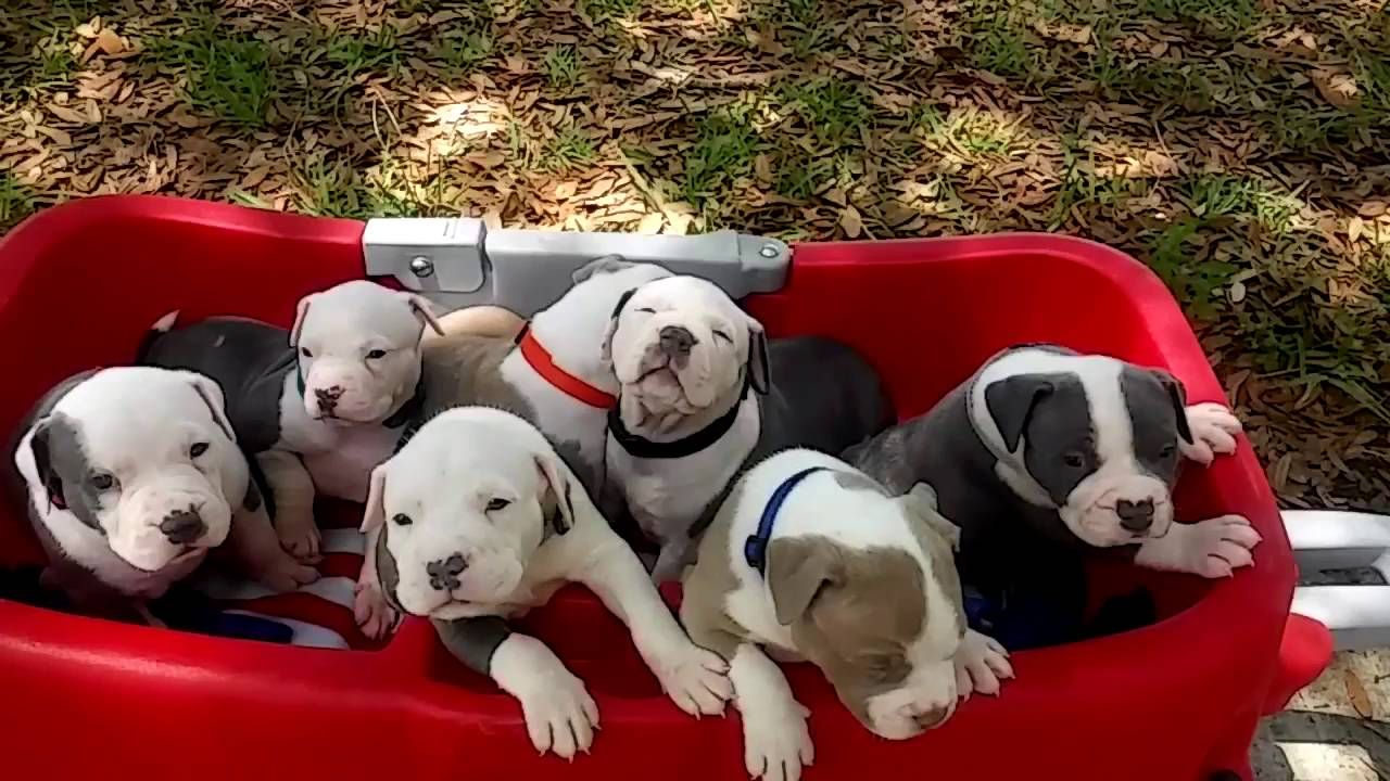 XXL Pitbull Puppies For Sale