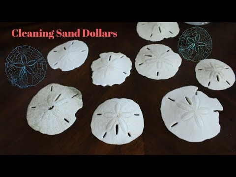 Cleaning Sand Dollars