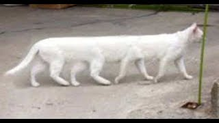 UNBELIEVABLE...Mysterious Cat Roaming on Streets in Tanzania