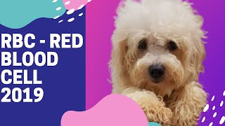 HULI KA BALBON    MALTESE DOGS    SMART & SURVIVAL DOGS