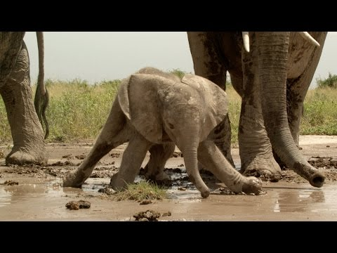 Baby elephant gets stuck in the mud - Natural World 2016: Preview - BBC Two