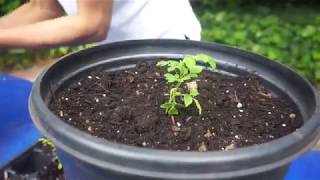 How and When to Transplant a Sapling/Seedling