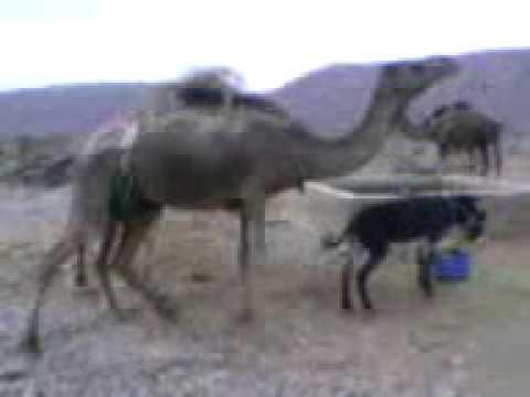 خر و شتر.3gp thumbnail