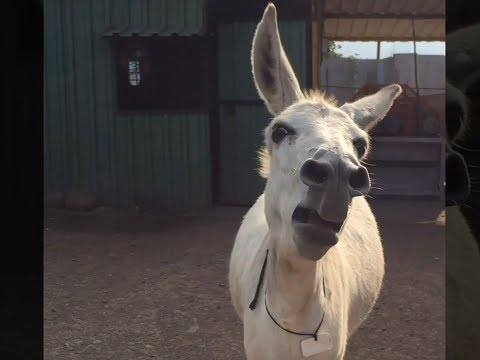 Singing Donkey Video goes Viral; Female donkey sings whenever she's happy