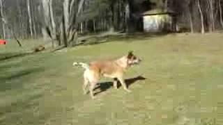 Sydney- Cattle Dog Training Freestyle.