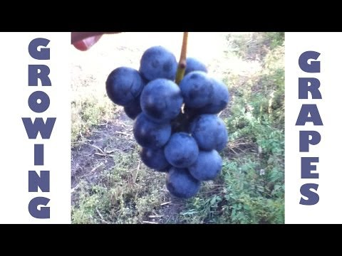 Growing Grapes How To Grow