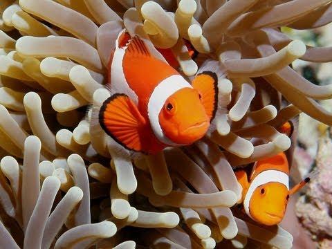 Ocellaris Clownfish (Care Guide)