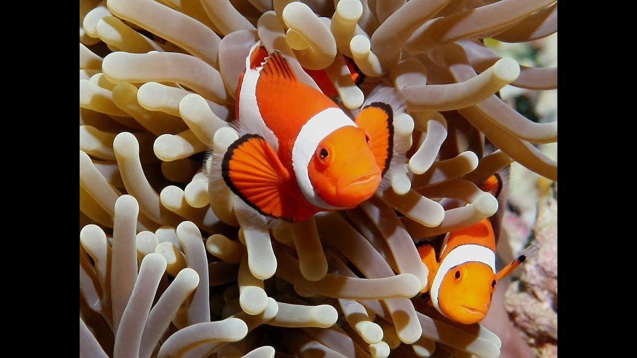 Ocellaris clownfish care guide youtube for Clown fish habitat