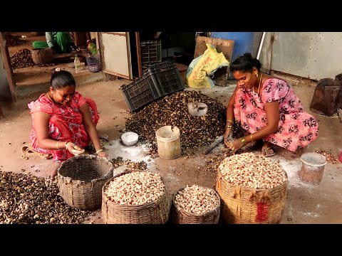 How to Process Cashew? | Cashew Processing at Palasa | Cashew Nut | Cashew Nut Processing Units
