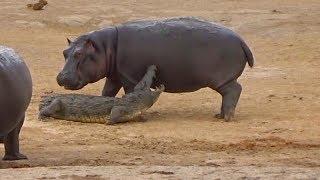 アフリカでカバの子供が、ワニを遊びに誘った結果... ワニと遊びたくな...