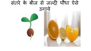 संतरे के बीज से बिना मिटटी जल्दी पौधा कैसे उगाये