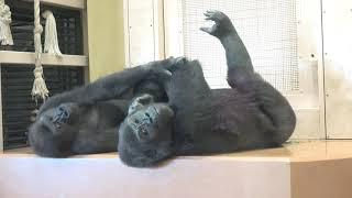 Gorilla family is energetic Shabani Kiyomasa Nene Ai Annie ゴリラの家族は元気です シャバーニ、キヨマサ、アニー、アイ、ネネ - #17