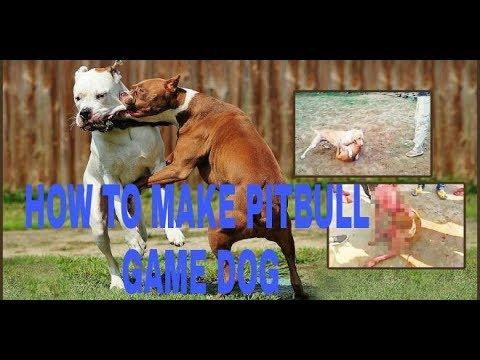 How to make  perfect pitbull game dog