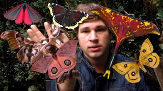 GIANT MOTHS & Butterflies: my hobby! (Breeding insects)