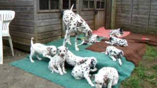 Dalmatian Puppies - Comfrey's Litter At 7 1/2 Weeks Old
