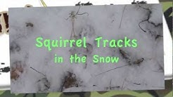 Squirrel Tracks in the Snow