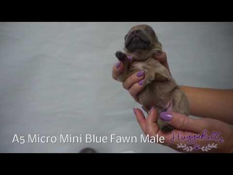 PuppyFinder.com : Rare Lilac Blue French Bulldog Puppies