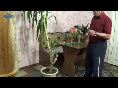 Как размножается цветок юкка