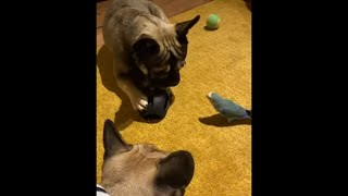 Little Birdie Bites His Puppy Friend When They Share Toys During Playtime