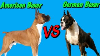 German Boxer Vs American Boxer    American Boxer Vs German Boxer    Which Dog Is Best .