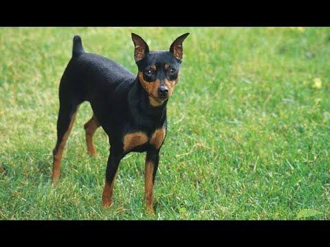 Miniature pinscher | small dog breed  | tamil | jayam ideas