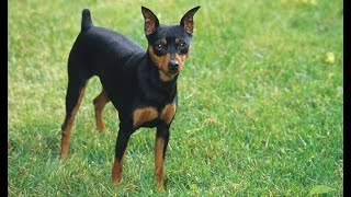 Miniature pinscher | small dog breed  | tamil | jayam ideas