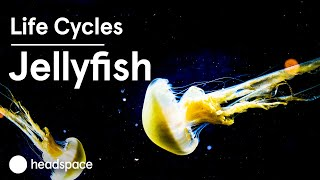The Mindfulness of the Jellyfish | Life Cycles