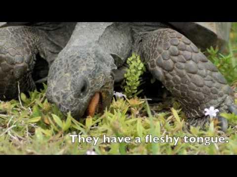 Gopher tortoises foraging
