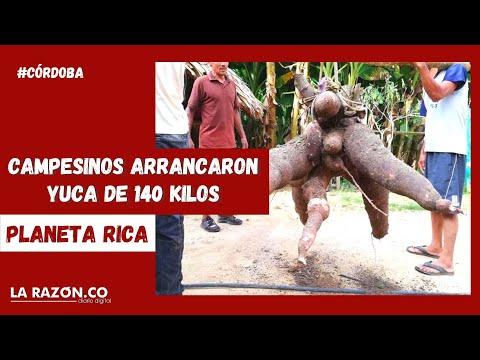 Campesinos arrancaron yuca de 140 kilos en Planeta Rica