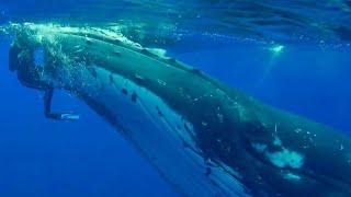 Горбатый кит спасает дайвера от гигантской акулы