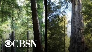 California's redwoods fight to survive after being scorched by wildfires