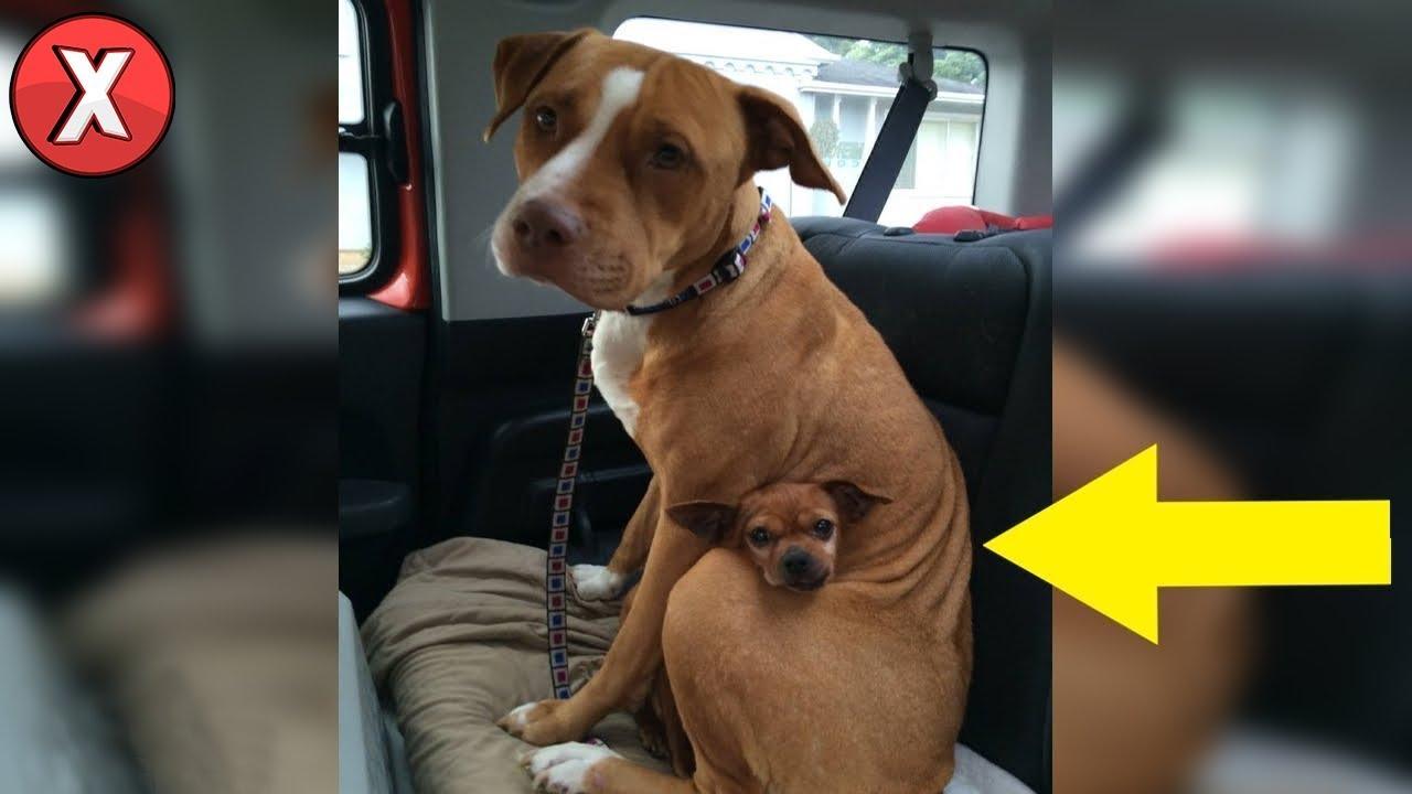 Homem foi adotar esta pitbull de um abrigo, mas ela se negou a sair sem seu amigo