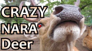 crazy deer of nara japan nara park