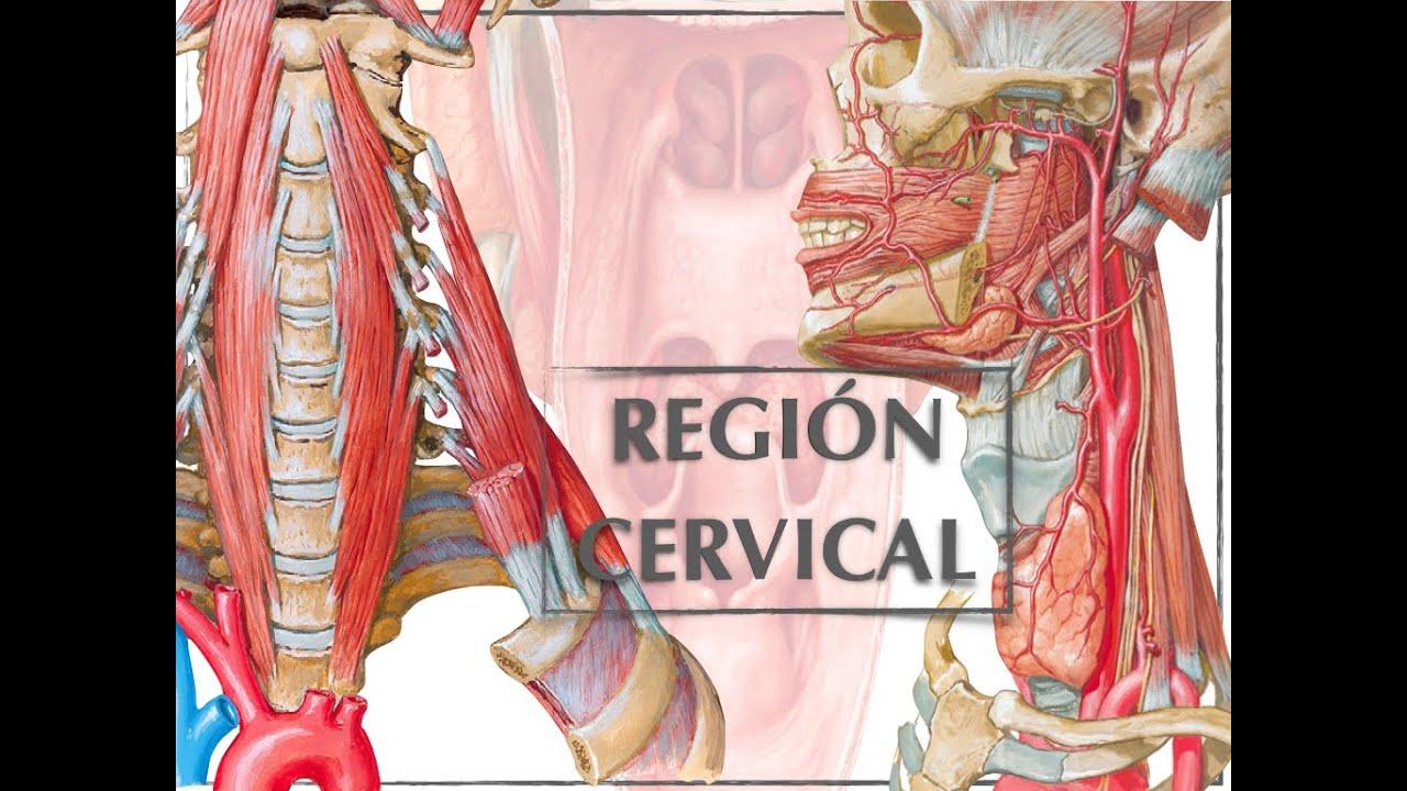 Clase Anatomía de la región cervical - YouTube