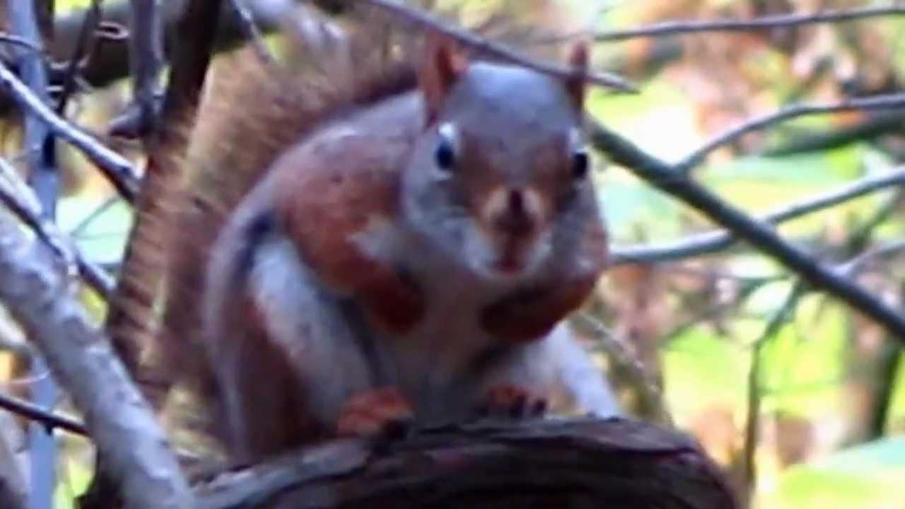 Upset Barking Red Squirrel