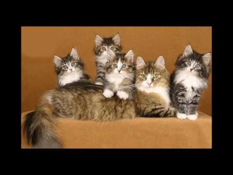 Norwegian Forest Cat and Kittens | History of the Norwegian Forest Cat Breed