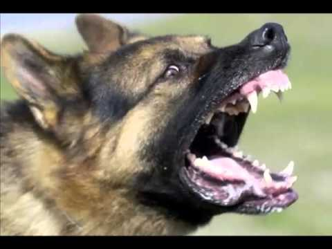 German Shepherd Fast Facts