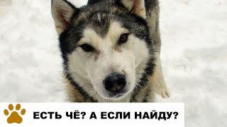 Как кормить собаку: голодный пес Борус просит еду и показывает как лает хаски