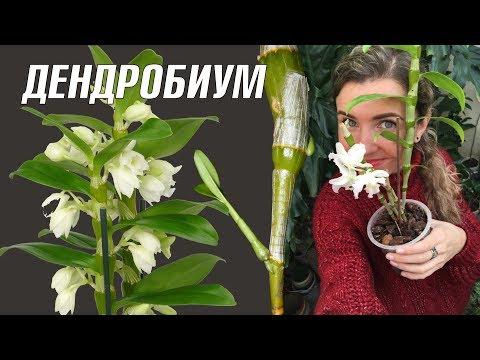 ОРХИДЕЯ ДЕНДРОБИУМ НОБИЛЕ уход в домашних условиях 🌸 Dendrobium nobile