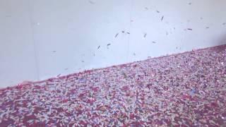 Генератор конфетти CM-2000 SHOWplus(SHOWplus Confetti Machine CМ-2000 – мощная, надежная и простая в использовании конфетти машина (конфетти генератор). Собс..., 2015-05-29T10:04:41.000Z)