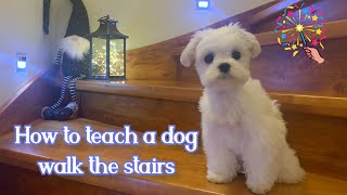 How to teach a puppy walk the stairs  Cute Maltese dog / Funny Christmas time video