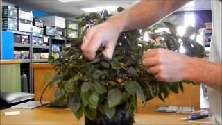 Topping and Pinching Back Plant Tips Presented by Green Leaf Gardening