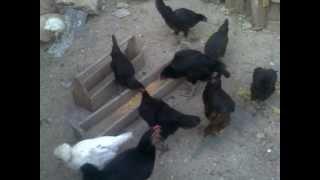 Ahmet Karataş ın öten tavukları