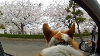 Car Window, Samukawa Park / 桜 寒川中央公園 車窓 20130329 Goro@welsh Corgi