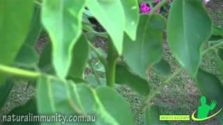 Gross stake (Kakawate) (Gliricidia sepium)