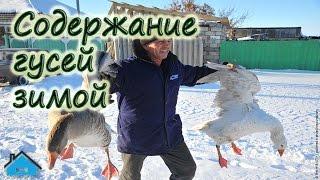 Содержание гусей зимой