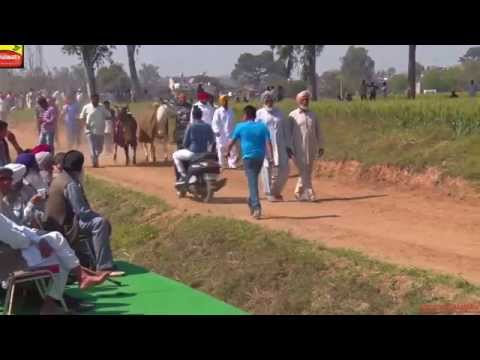 AASSI KALAN (Ludhiana)     Bull Cart Races - 2015    HD    Part 1st.