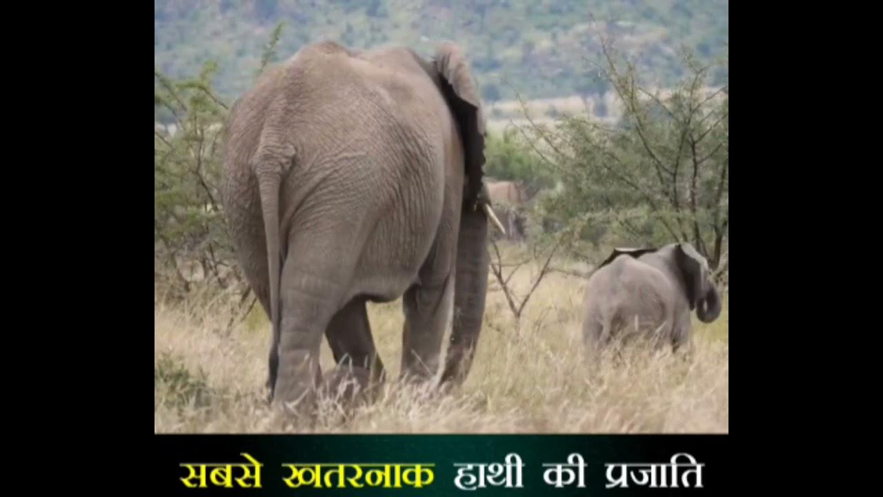 सबसे खतरनाक हाथी की प्रजाति 💥 amazing fact #fact
