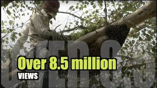 Smoke chases thousands of bees: Traditional honey removal in India