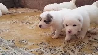 Щенки Алабая купить щенка Украина